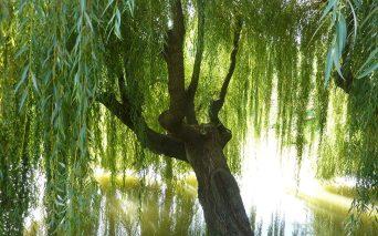 willow-1080x675
