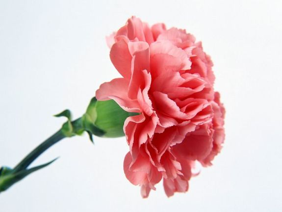 carnation_flower_photo_4