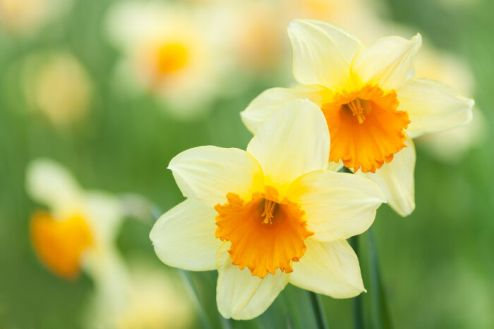 close up beautiful yellow flowers spring narcissus