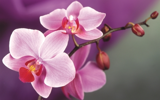 pink-orchids-macro-wallpaper