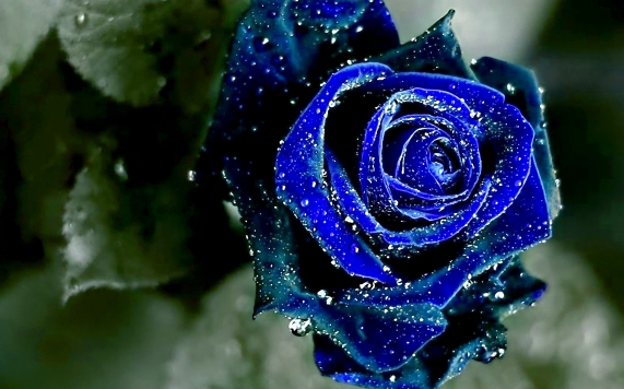 winsome-wet-blue-rose