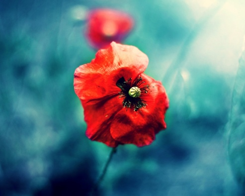 ws_wild_red_poppy_1280x1024