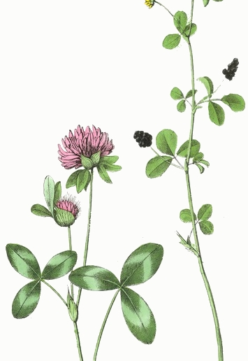 pink-yellow-clover