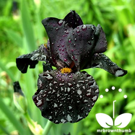 Black-Iris-Flower