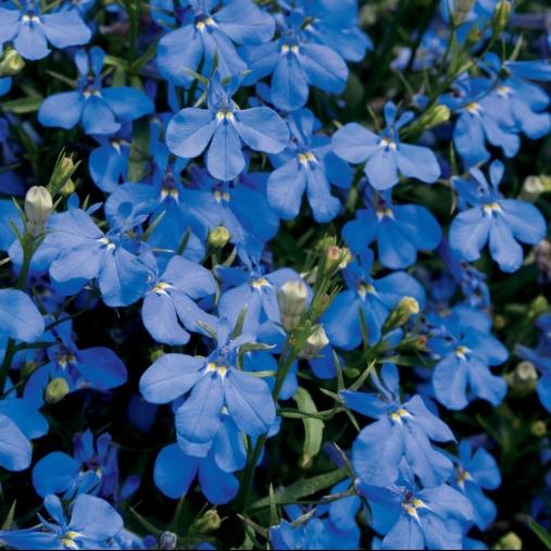 bluelobelia
