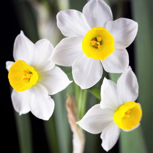Narcissus_Chinese_Sacret_Lily_1026818878.SHUT_1400x